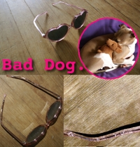 Bad_dog_sunglasses